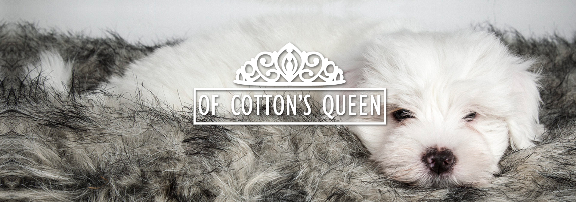Honden fokker Coton de Tuleàr - Of Cotton's Queen